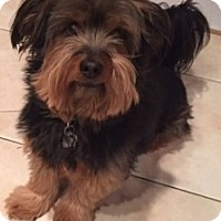 Dachshund/Yorkie, Yorkshire Terrier Mix Dog for adoption in Croton, New York - Kiko