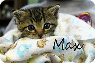 Domestic Shorthair Kitten for adoption in Wichita Falls, Texas - Max