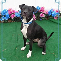 Adopt A Pet :: KRATOS - Marietta, GA