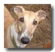 Greyhound Dog for adoption in Roanoke, Virginia - Tony