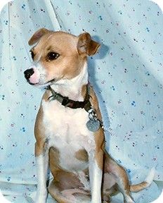 Jack Russell Terrier/Chihuahua Mix Dog for adoption in Morriston, Florida - Stanley