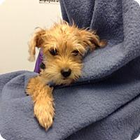 Adopt A Pet :: ZORO - Higley, AZ