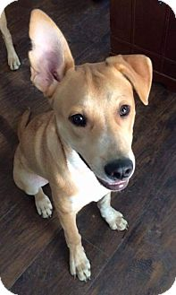 Labrador Retriever/American Pit Bull Terrier Mix Puppy for adoption in nashville, Tennessee - Eamon