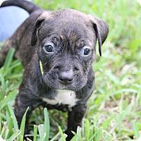 Adopt A Pet :: Bonita - Ft. Myers, FL