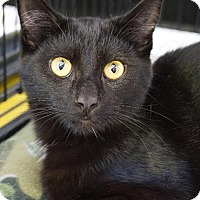 Domestic Shorthair Cat for adoption in Wauconda, Illinois - Midnight