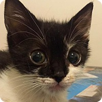 Adopt A Pet :: Oreo 2 - Leonardtown, MD
