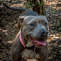 American Pit Bull Terrier Mix Dog for adoption in El Cajon, California - Sweetie