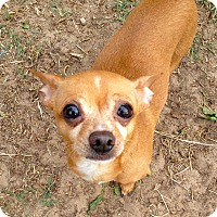 Adopt A Pet :: Muchacho - Las Vegas, NV