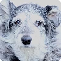 Adopt A Pet :: Shirley-luvs kids/meet her - Norwalk, CT