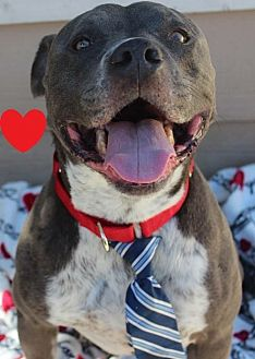 American Pit Bull Terrier Dog for adoption in Alta Loma, California - Nicholas