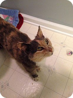 Domestic Shorthair Cat for adoption in Turnersville, New Jersey - Lucie
