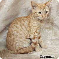 Adopt A Pet :: Superman - Fullerton, CA