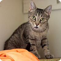 Domestic Shorthair Cat for adoption in Dalton, Georgia - Tigie