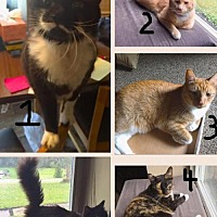 Domestic Shorthair Cat for adoption in Woodbury, New Jersey - 4 Kitties Need New Home (CP)