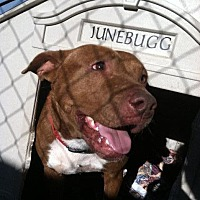 Pit Bull Terrier Dog for adoption in Jefferson, Texas - Smokey Joe