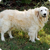 Great Pyrenees/Golden Retriever Mix Dog for adoption in Tulsa, Oklahoma - Marley