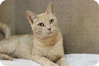 Domestic Shorthair Cat for adoption in Midland, Michigan - Babyrella - $10!