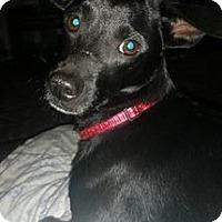Chihuahua/Whippet Mix Dog for adoption in Aiken, South Carolina - Jasper