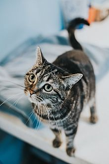 Domestic Shorthair Cat for adoption in Indianapolis, Indiana - Simone