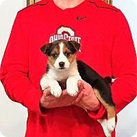 Adopt A Pet :: Sadie - Gahanna, OH