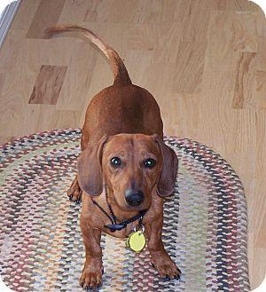Dachshund Dog for adoption in Portland, Oregon - BUDDY