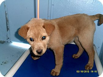 Labrador Retriever/Golden Retriever Mix Puppy for adoption in Dundas, Virginia - Tabitha