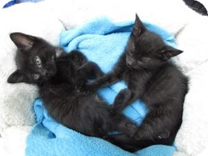 Domestic Shorthair Kitten for adoption in Island Park, New York - Sebastian