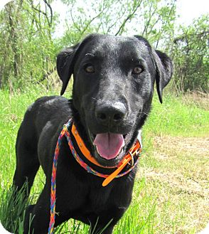 Labrador Retriever Dog for adoption in Richmond, Virginia - Gus