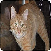 Domestic Shorthair Cat for adoption in Jackson, New Jersey - Cubbers