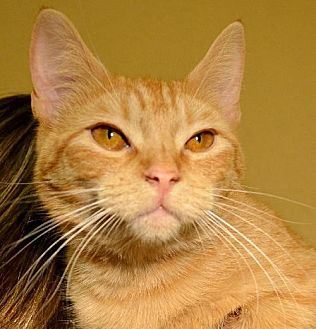 Domestic Shorthair Cat for adoption in Horn Lake, Mississippi - Walley