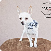 Adopt A Pet :: Princess Daisy - Shawnee Mission, KS