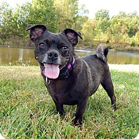 Pug/Chihuahua Mix Dog for adoption in Indianapolis, Indiana - Rumor