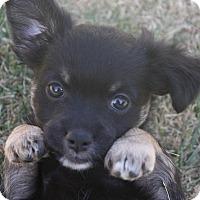 Adopt A Pet :: Lancer - Henderson, NV