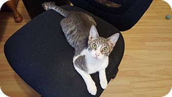 Domestic Shorthair Cat for adoption in Orlando, Florida - Louboutin (8.15.15) (TH)