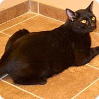 Domestic Shorthair Cat for adoption in Cumming, Georgia - Aidan