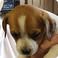 Adopt A Pet :: Rolly Polly AD 03-26-16 - Preston, CT