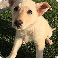 Adopt A Pet :: Bella - Santa Ana, CA