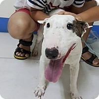 Bull Terrier Dog for adoption in Seattle, Washington - Angela Yenchi