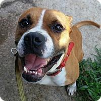 Adopt A Pet :: Cruz - Rowayton, CT