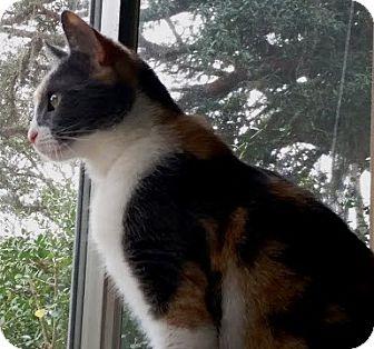 Calico Cat for adoption in DeLand, Florida - HARLEY QUINN