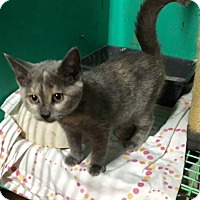 Domestic Shorthair Kitten for adoption in Wanaque, New Jersey - Kittens
