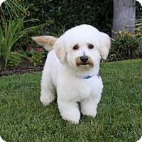 Adopt A Pet :: MYLES - Newport Beach, CA