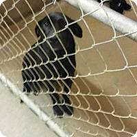 Adopt A Pet :: Forrest meet me 9/16 - Manchester, CT