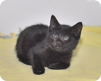 Domestic Shorthair Kitten for adoption in Medina, Ohio - Wrangler