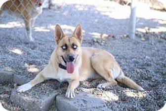 Husky/Shepherd (Unknown Type) Mix Dog for adoption in Ripon, California - Maleficent