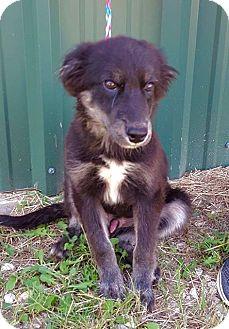 Shepherd (Unknown Type)/Australian Shepherd Mix Puppy for adoption in Smithtown, New York - Yogi