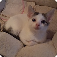 Domestic Shorthair Kitten for adoption in Delmont, Pennsylvania - 1Brandy