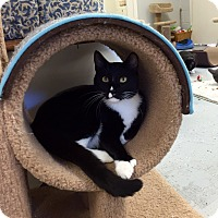 Domestic Shorthair Cat for adoption in San Leon, Texas - Zara