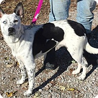 Australian Cattle Dog Mix Dog for adoption in Texico, Illinois - Shelby