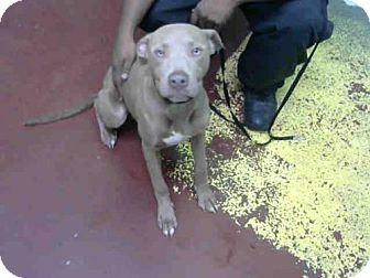 American Pit Bull Terrier Dog for adoption in Atlanta, Georgia - GOODMAN